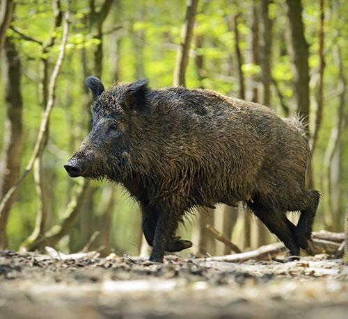 Divlja svinja – TM-Lovstvo
